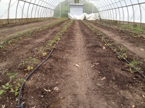 Tomatoes were planted early into hoophouse 2.