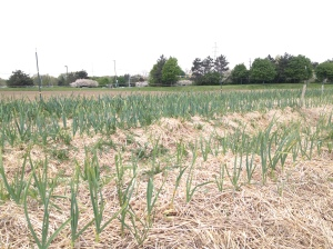 Healthy looking garlic was planted last fall and mulched with straw.