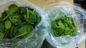 Fresh and sweet winter hoophouse spinach and arugula.