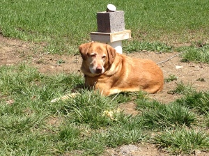 Honey the dog enjoys helping out in the garden.
