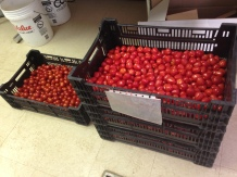More than 60 lb of cherry tomatoes!