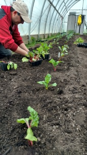 chard being planted