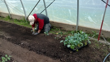 Kale being planted