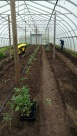 Tomatoes being planted a