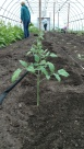 Tomatoes being planted b