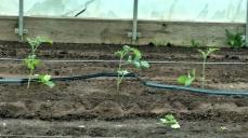 tomatoes drip