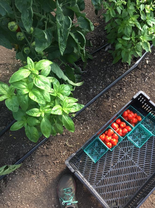 Tomatoes Basil