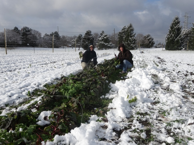harvesting in snow
