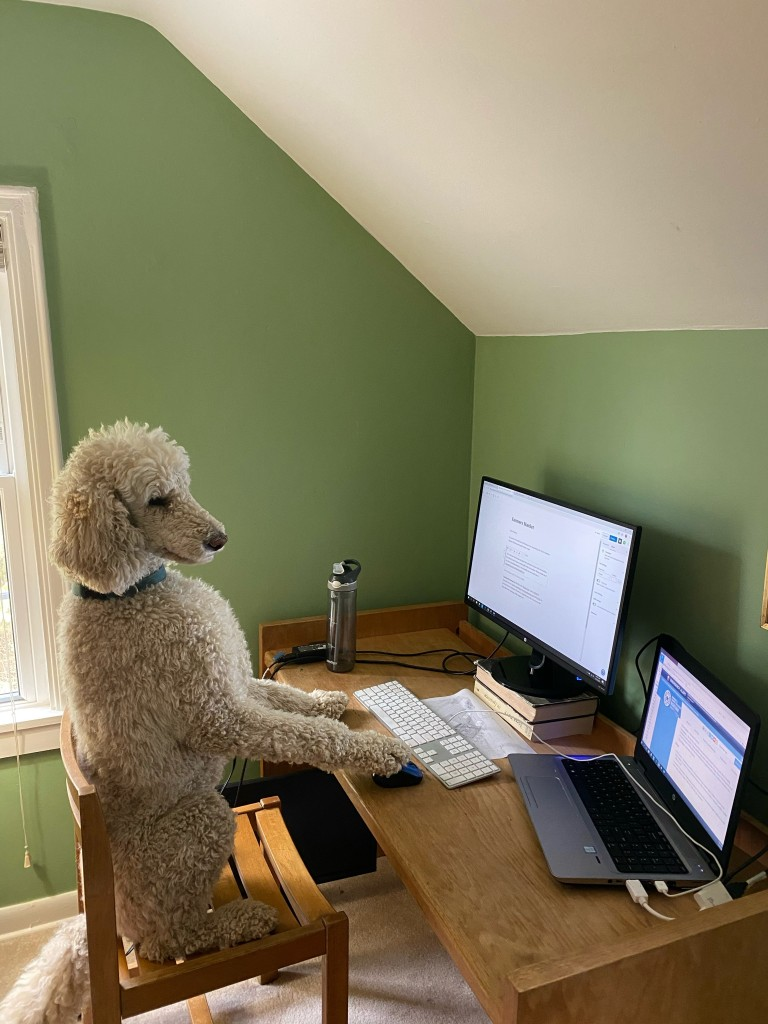 Poodle sitting at computer desk.